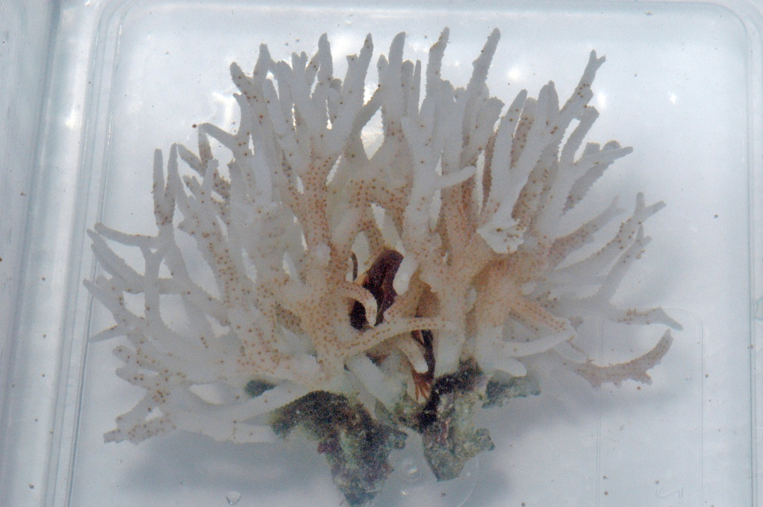 white syndroms corals